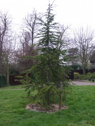 Cedar Tree 2006